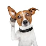 bigstock-Dog-Listening-With-Big-Ear-38110417